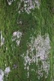 Mousse sur l'écorce de l'arbre Photos libres de droits