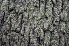 Mousse sur l'écorce du chêne Fond naturel Photo libre de droits