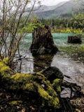 Mousse sur l'arbre mort Image libre de droits