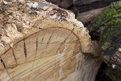 Mousse sur le tronc Photographie stock libre de droits
