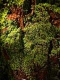 Mousse sur un arbre mort photographie stock