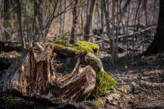 Mousse sur un tronçon dans une forêt de ressort photo stock