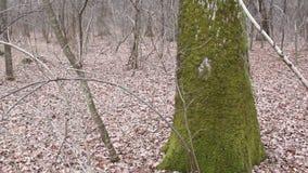 Mousse sur une écorce d'arbre banque de vidéos