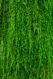 Mousse sur une écorce d'arbre Photo libre de droits