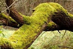 Mousse vert clair sur des joncteurs réseau d'arbre Image stock