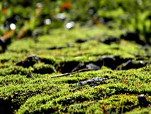 Mousse vert clair sur un tronc d'arbre Évident toutes les particules dans la mousse dans les rayons lumineux image libre de droits