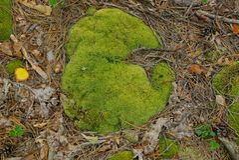 Mousse verte au sol dans la forêt dans aiguilles brunes sèches images stock