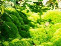Mousse verte, du scoparium de Dicranum de variété Images libres de droits