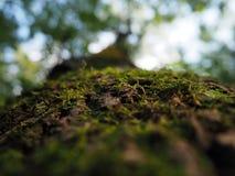 Mousse verte juteuse sur une écorce d'arbre brune photo stock
