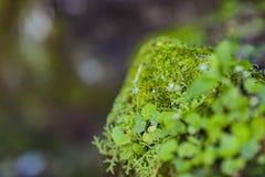 Mousse verte s'élevant avec une attention de capture de petite fleur Surface de texture de mousse, fond vert de mousse images stock