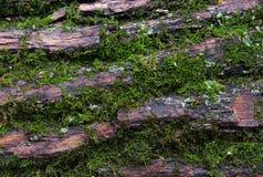 Mousse verte sur l'écorce Photographie stock