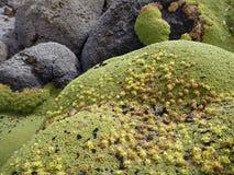 Mousse verte sur la roche dans le désert Photographie stock