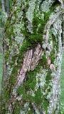 Mousse verte sur le fond texturisé d'écorce d'arbre photos libres de droits