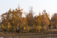 Mousserande guld- björkträd Fotografering för Bildbyråer