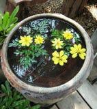 Mousserande ljust gult kosmos blommar och sidor som svävar i klar vattenhandfat Royaltyfri Foto
