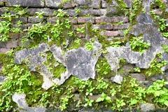 Mousses et plantes vertes s'élevant sur le vieux mur de briques Photos stock