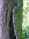 Mousses sur l'écorce d'arbre Image libre de droits