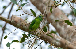 Moustached Barbet Stockfoto