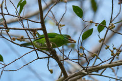 Moustached barbet Royalty Free Stock Photo