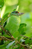 Moustached barbet. Beautiful moustached barbet (Megalaima incognita) in fruiting tree Stock Images
