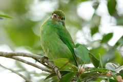 Moustached barbet. Beautiful moustached barbet (Megalaima incognita) in fruiting tree Royalty Free Stock Photography