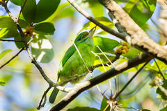 Moustached Barbet. Is eating the fruit in nature Stock Photography