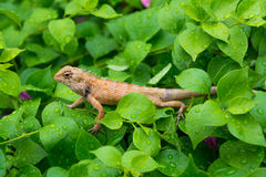 Moustached Crested Lizard in the wild of rainy season. Moustached crested lizard on the wet leaves of rainy season. A real wildlife picture Royalty Free Stock Photo