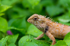 Moustached Crested Lizard in the wild of rainy season. Moustached crested lizard on the wet leaves of rainy season. A real wildlife picture Stock Image