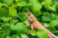Moustached Czubata jaszczurka w dzikim pora deszczowa fotografia stock