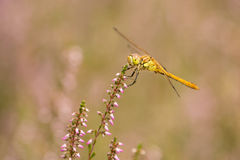 Moustached Darter on heather in bloom (Sympetrum vulgatum). Moustached Darter on a piece of heather in full bloom (Sympetrum vulgatum Royalty Free Stock Photography