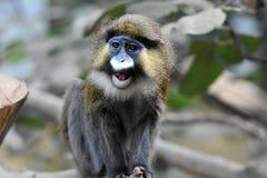 Moustached guenon. Cercoppithecus cephus or moustaches guenon, an african monkey Royalty Free Stock Photos