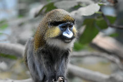 Moustached guenon Royalty Free Stock Photos