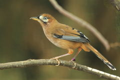 Moustached laughingthrush. The moustached laughingthrush sitting on the branch Royalty Free Stock Images