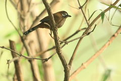 Moustached laughingthrush. The adult moustached laughingthrush on the branch Stock Images