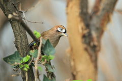 Moustached laughingthrush. The moustached laughingthrush sitting on the branch Royalty Free Stock Image