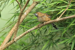 Moustached laughingthrush. Sitting on the branch Stock Images