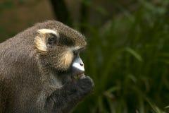 Moustached Monkey Portrait. Portrait of a eating moustached monkey/ moustached guenon (Cercopithecus cephus Royalty Free Stock Photos
