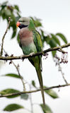 Moustached parakeet. Male moustached parakeet (Psittacula alexandri fasciata) sitting in a cherry tree Royalty Free Stock Photography
