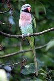 Moustached parakeet. Male moustached parakeet (Psittacula alexandri fasciata) sitting in a cherry tree Stock Photos