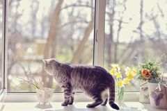 Moustached striped. Cat walk among the flowers on the windowsill looking out the window Stock Photography