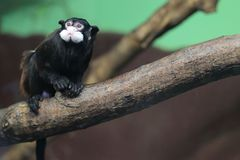 Moustached tamarin Stock Images