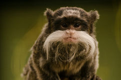 Moustached tamarin enface. Moustached tamatin looking at you Royalty Free Stock Photos