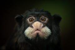 Moustached tamarin. Or Spix's  (Saguinus mystax) portrait on dark background Royalty Free Stock Photos