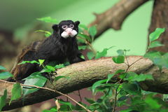 Moustached tamarin. On the tree Stock Photo