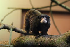 Moustached tamarin. The moustached tamarin on the wood Royalty Free Stock Photo
