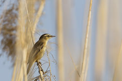 Moustached Warbler on Reed. A moustached warbler is perching on a reed stock photos