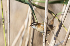 Moustached Warbler Among Reed. Moustached warbler (Acrocephalus melanopogon) is looking left holding on a reed Royalty Free Stock Images