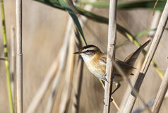 Moustached Warbler Among Reed. Moustached warbler (Acrocephalus melanopogon) is looking left holding on a reed Stock Photos