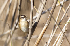 Moustached Warbler Among Reed. Moustached warbler (Acrocephalus melanopogon) is looking right holding on a reed Royalty Free Stock Photo