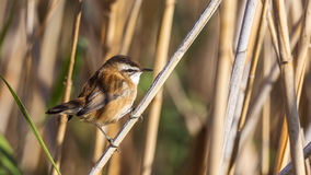 Moustached Warbler On Reed Royalty Free Stock Image